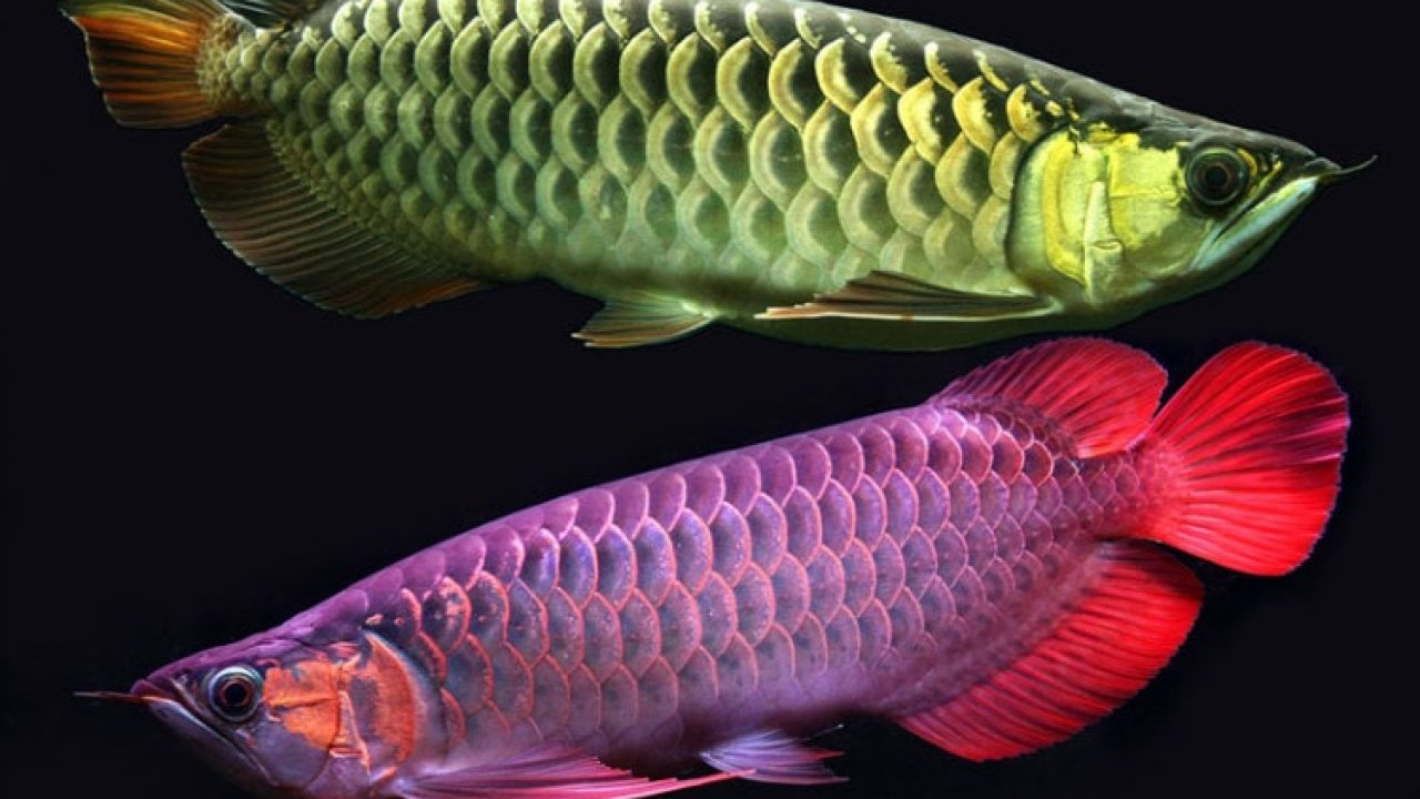 40 Koleski Terbaik Sketsa Gambar Ikan Dalam Aquarium