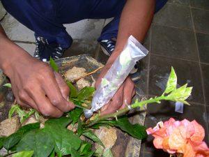 7 Cara Menanam Bunga Kertas Bougenville Dalam Pot Ilmubudidaya Com