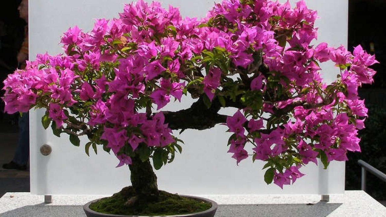 7 Cara Menanam Bunga Kertas Bougenville Dalam Pot Ilmubudidaya Com Cara budidaya bunga kertas