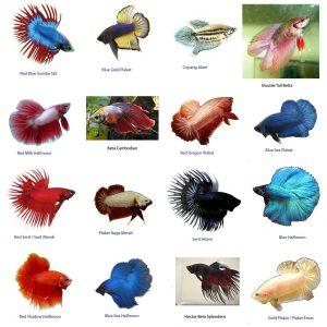 7 Cara Budidaya Ikan Cupang Hias Untuk Pemula ...