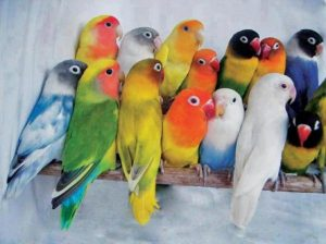 6 Cara Budidaya Burung Lovebird Paling Mudah Untuk Pemula Ilmubudidaya Com