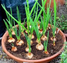 cara menanam bawang bombay