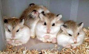 5 Cara Budidaya Hamster Bagi Pemula Tips Lengkap Ilmubudidaya Com