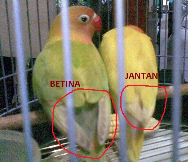 Perbedaan Lovebird Jantan Dan Betina Ilmubudidaya Com