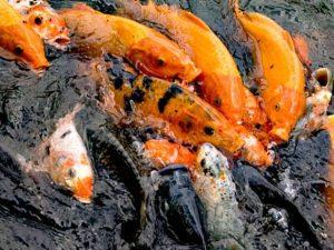 4 cara budidaya ikan mas di kolam bagi pemula