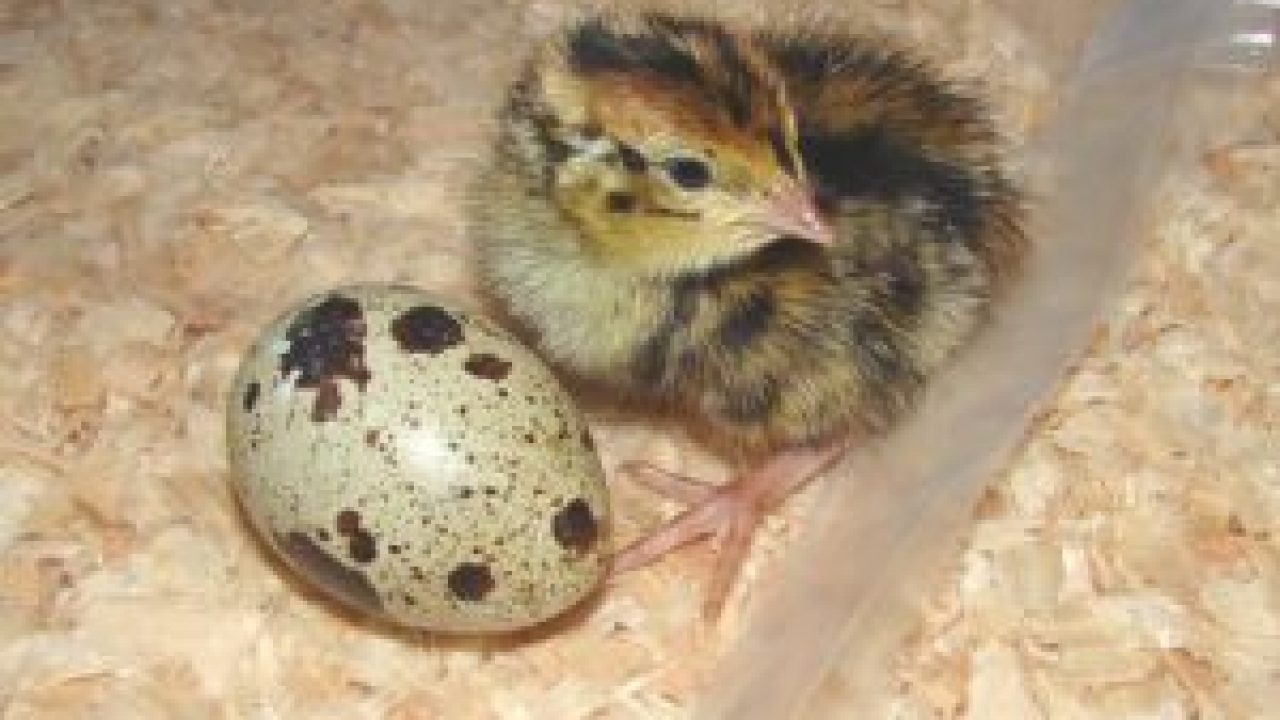 4 Cara Budidaya Burung Puyuh Paling Mudah Bagi Pemula