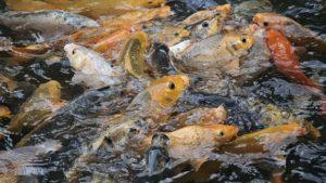 4 Cara Budidaya Ikan Mas di Kolam bagi Pemula ...