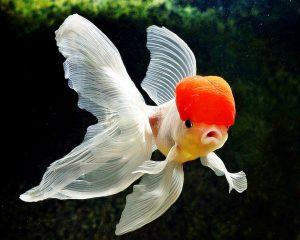 5 Cara Budidaya Ikan Mas Koki Di Aquarium Untuk Pemula Ilmubudidaya Com