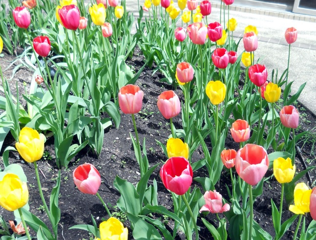 10 Cara Menanam Bunga Tulip Di Daerah Tropis Ilmubudidaya Com