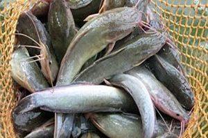 5 Cara Budidaya Ikan Lele Dalam Terpal bagi Pemula ...