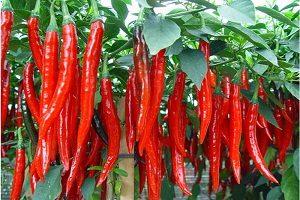cara menanam cabe merah di tanah gambut