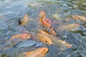 5 Cara Budidaya Ikan Dalam Kolam Terpal untuk Pemula ...