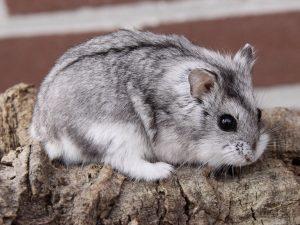 7 Cara Budidaya Hamster Campbel Paling Mudah Ilmubudidaya Com