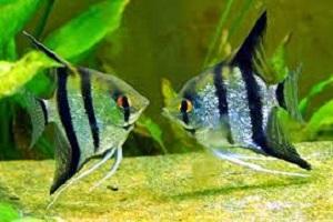 11 Cara Budidaya Ikan Angelfish Di Akuarium Manfish Ilmubudidaya Com