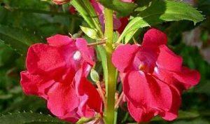 5 Cara Menanam Bunga Balsam Paling Mudah Ilmubudidaya Com