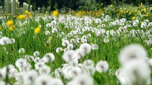 6 Cara Menanam Bunga Dandelion Dan Perawatan Ilmubudidaya Com