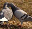 3 Cara Budidaya Burung Dara Pedaging bagi Pemula