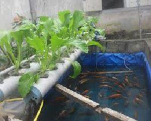 cara menanam sayur aquaponic