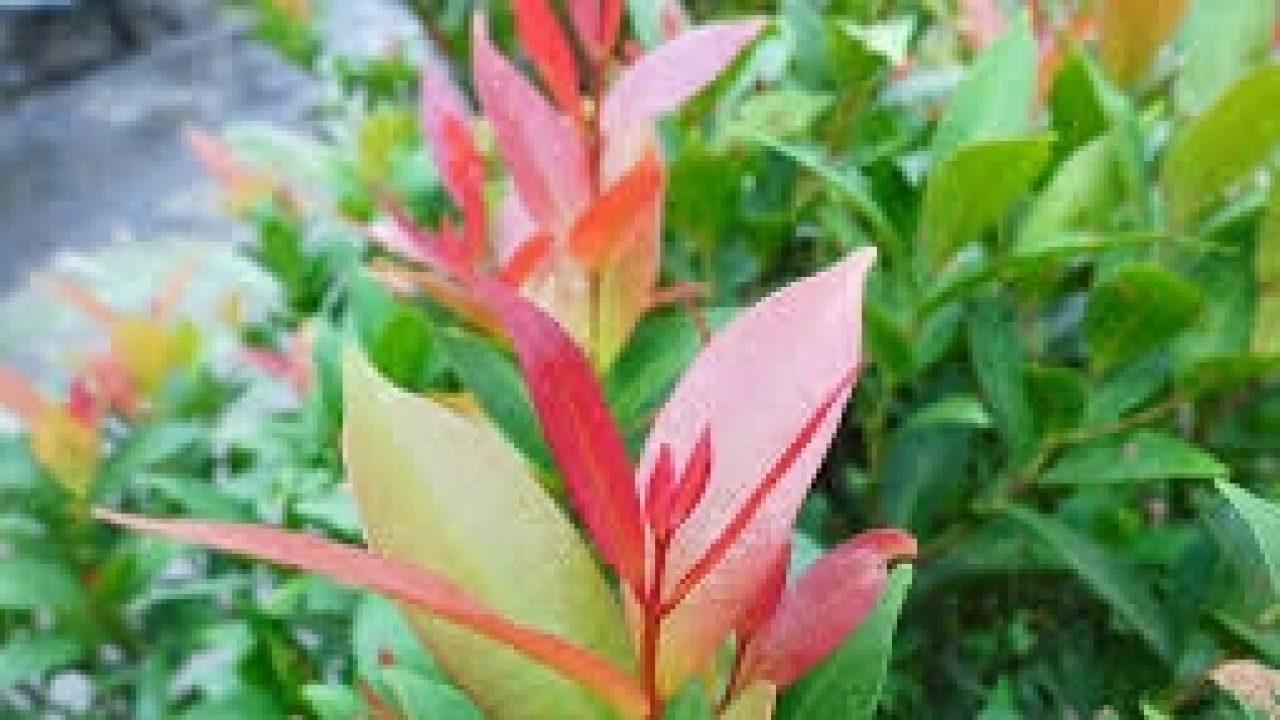 5 Cara Menanam Bunga Pucuk Merah Dengan Stek Ilmubudidaya Com
