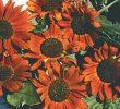 6 Cara Menanam Sunflower Velvet Queen Di Dalam Pot