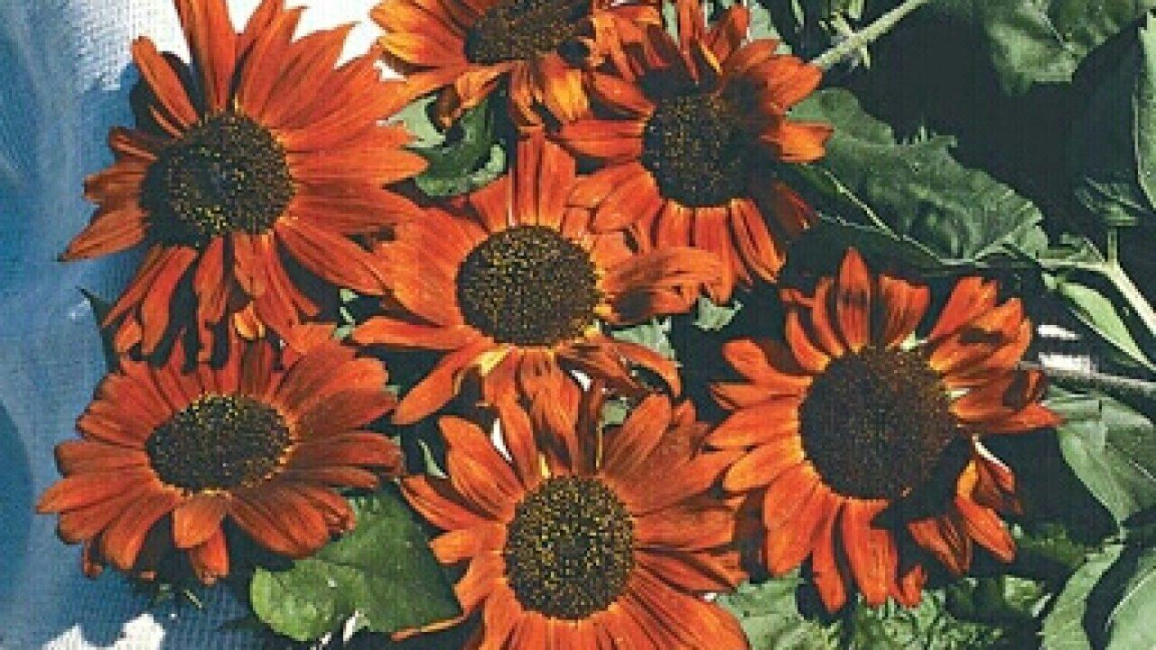 6 Cara Menanam Sunflower Velvet Queen Di Dalam Pot Ilmubudidaya Com