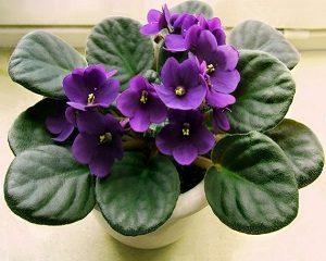 cara menanam buat violet