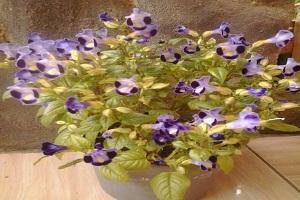 3 Cara Menanam Bunga Telang di Rumah