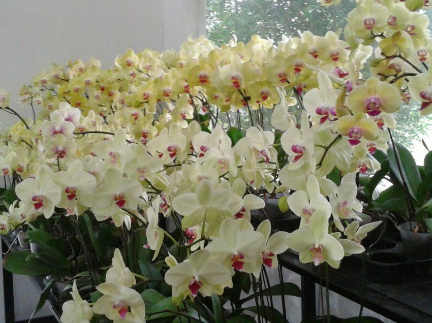 9 Cara Menanam Orkid Butterfly dan Perawatannya