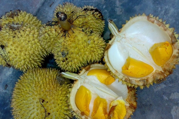 5 Cara Menanam Durian Musang King Paling Mudah