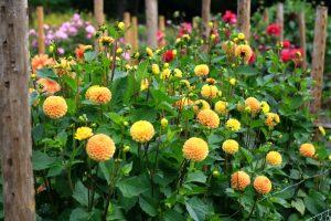 6 Cara Menanam Bunga Dahlia Dan Perawatannya Ilmubudidaya Com