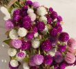 6 Cara Menanam Bunga Kancing dan Perawatannya