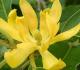 3 Cara Menanam Bunga Cempaka di Perkarangan Rumah