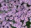 4 Cara Menanam Bunga Daisy Dengan Mudah