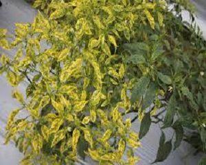cara mengatasi penyakit bulai (gemini) pada tanaman cabe