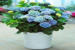 3 Cara Menanam Bunga Panca Warna Bagi Pemula