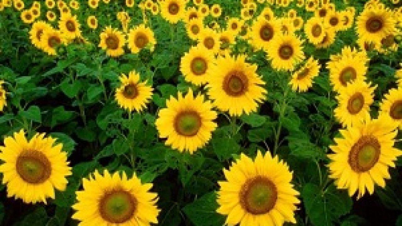 Fantastis 10+ Gambar Semua Jenis Bunga Matahari - Gambar ...