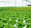 5 Cara Menanam Sayuran Hidroponik Organik Menggunakan 3 Sistem Alternatif