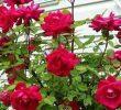3 Cara Stek Bunga Mawar Agar Cepat Tumbuh