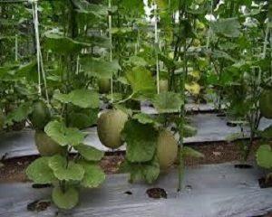 cara menanam melon sistem lanjaran