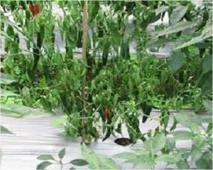cara mengatasi layu fusarium pada tanaman cabe