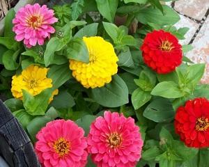 8 Cara Menanam Bunga Zinnia dengan Mudah