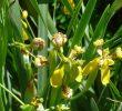 5 Cara Menanam Bunga Iris Kuning di Pekarangan Rumah