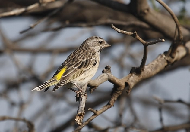 7 Cara Budidaya Burung Blackthroat untuk Pemula