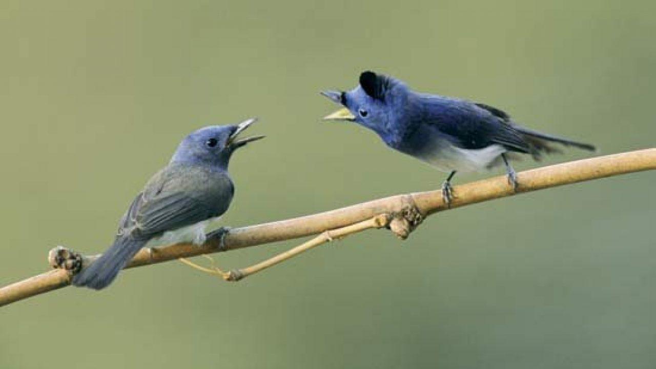 12 Cara Budidaya Burung Berkicau Sangat Merdu Ilmubudidaya Com