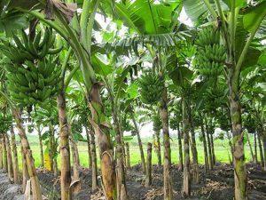 6 Cara Merawat Pohon Pisang Agar Berbuah Besar Ilmubudidaya Com