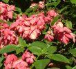 9 Cara Menanam Bunga Nusa Indah dengan Stek Batang