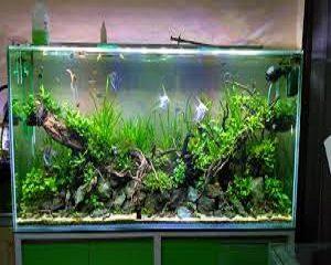 cara mengatasi hama aquascape