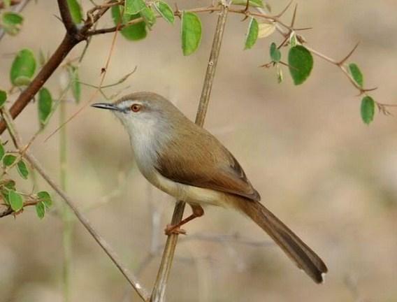 8 Cara Budidaya Burung Ciblek Bagi Pemula Paling Mudah