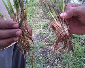 cara mengatasi busuk akar tanaman padi
