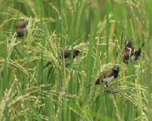 cara mengusir hama burung pada tanaman padi